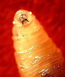 Screwworm larva
