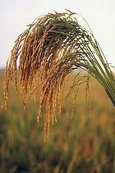 Photo: U.S. long grain rice. Link to photo information
