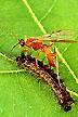 Aleiodes indiscretus wasp