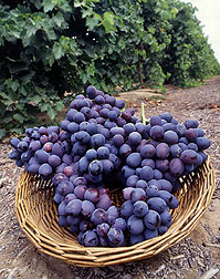 Basket of Autumn Royal grapes: Link to photo information