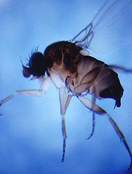 Photo: Phorid fly. Link to photo information