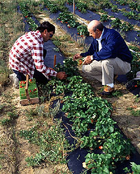 Picking strawberries grown with sewage sludge