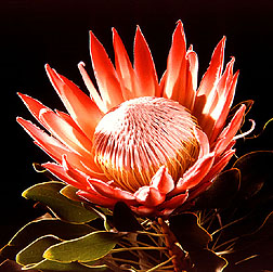 Partially opened King Protea