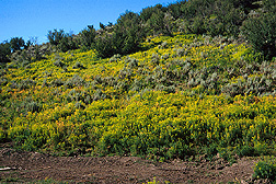 Leafy spurge overtaking a hillside in Colorado. Link to photo information.