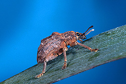 Oxyops vitiosa, a leaf weevil. Link to photo information.