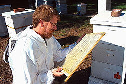 Entomologist examines a screen that separates live varroa mites from bees. Link to photo information.