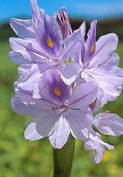 A water-hyacinth's flower. Link to photo information.