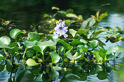 Water-hyacinth in bloom. Link to photo information.