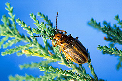 The Diorhabda elongata leaf beetle. Link to photo information.