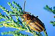 Diorhabda elongata leaf beetle