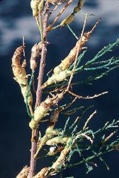 The midge Psectrosema noxium attacks saltcedar and forms galls on it, killing the terminal stems. Link to photo information.