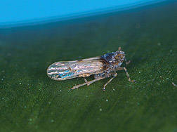 The Megamelus plant hopper (about 3mm long). Link to photo information.