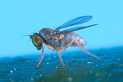 Thrypticus fly from the upper Amazon River