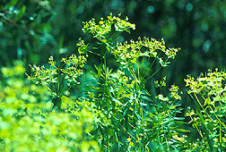 Leafy spurge: Link to photo information