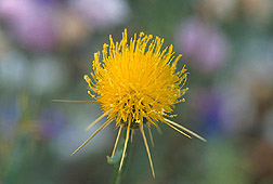 Photo: The revised web site for the Germplasm Resources Information Network (GRIN) now includes a new segment on noxious weeds, including this one named yellow starthistle. Link to photo information