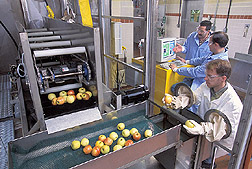 Engineering technician gathers apples while mechanical engineer and food microbiologist operate equipment: Click here for full photo caption.