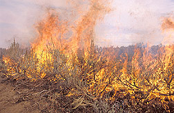 A prescribed fire at the Henninger Ranch: Click here for full photo caption.