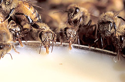 Photo: Honey bees drinking an artificial diet. Link to photo information.