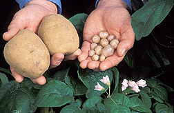 Hands holding examples of cultivated (left) and wild species of potato. Link to photo information