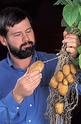 Geneticist examines a potato plant: Click here for full photo caption.