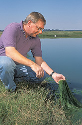 Microbiologist examines filamentous algae from a catfish production pond: Click here for full photo caption.