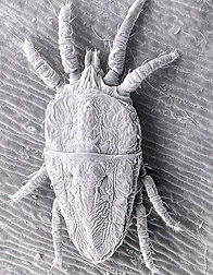 Electron micrograph of a flat mite species: Click here for full photo caption.