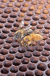 An Africanized honey bee and a European honey bee: Click here for full photo caption.