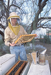 Entomologist investigating honey bee colonies: Click here for full photo caption.