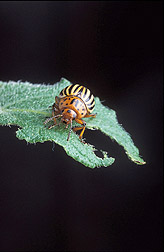 An adult Colorado potato beetle: Click here for full photo caption.