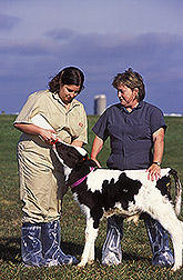 Danielle Cary and Susan Eicher feed a calf a fluorescently labeled supplement. Link to photo information