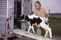 Technician loads a calf onto a trailer: Click here for full photo caption.