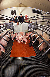 Purdue University associate professor, graduate student, and ARS research leader observe piglets: Click here for full photo caption.