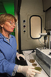 Chemist performs analysis of aflatoxin from a petri dish containing Tulare walnuts: Click here for full photo caption.