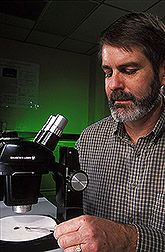 Research leader examines adult tsetse fly specimens: Click here for full photo caption.