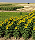 Sunflowers and other crops. Link to story