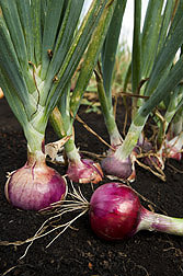 Photo: Pungent red onions. Link to photo information