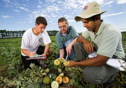 Horticulturist (center) evaluates melon color with University of Wisconsin graduate research assistant (right) and undergraduate: Click here for full photo caption.