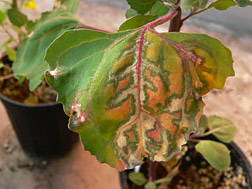 Mottled leaf of a weed infected with beet black scorch virus.  Link to photo information