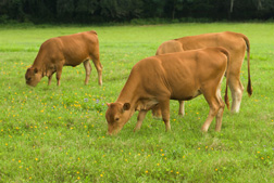 Romosinuano heifers grazing a pasture mixture of perennial peanut (Arachis glabrata) and bahiagrass (Paspalum notatum): Click here for photo caption.