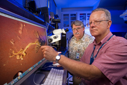 Using a dissecting scope, entomologist (left) and microbiologist identify which of a fly's internal organs should be examined for Salmonella enteritidis contamination: Click here for full photo caption.