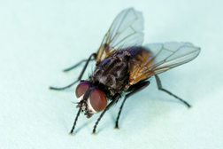 Photo: House fly (Musca domestica). Link to photo information