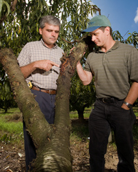 Two entomologists examine damage caused by the lesser peachtree borer: Click here for full photo caption.