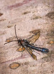 The lesser peachtree borer may be pretty, but it isn't peachy: Click here for photo caption.