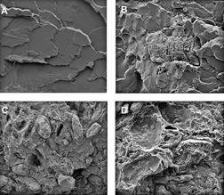 Scanning electron micrographs reveal what happens internally to a biodegradable plastic composite when it breaks apart: Click here for full photo caption.