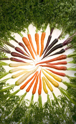 Colorful ARS-bred carrots: Click here for full photo caption.