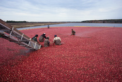 Cranberries being harvested in New Jersey: Click here for full photo caption.