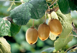 Kiwifruit: Click here for full photo caption.