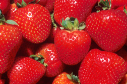 Strawberries: Click here for full photo caption.