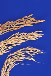 Rice with less phytic acid (the top two specimens below) can enhance human absorption of minerals: Click here for photo caption.