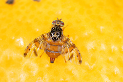 Mediterranean fruit fly, Ceratitis capitata: Click here for photo caption.